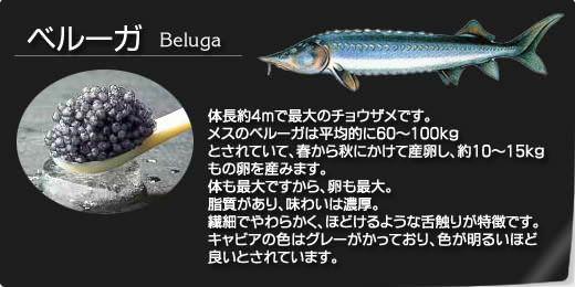 ベルーガ(Beluga)