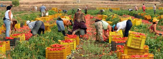 収穫作業を行う熟練したスタッフ